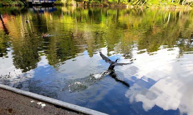 seabird takeoff