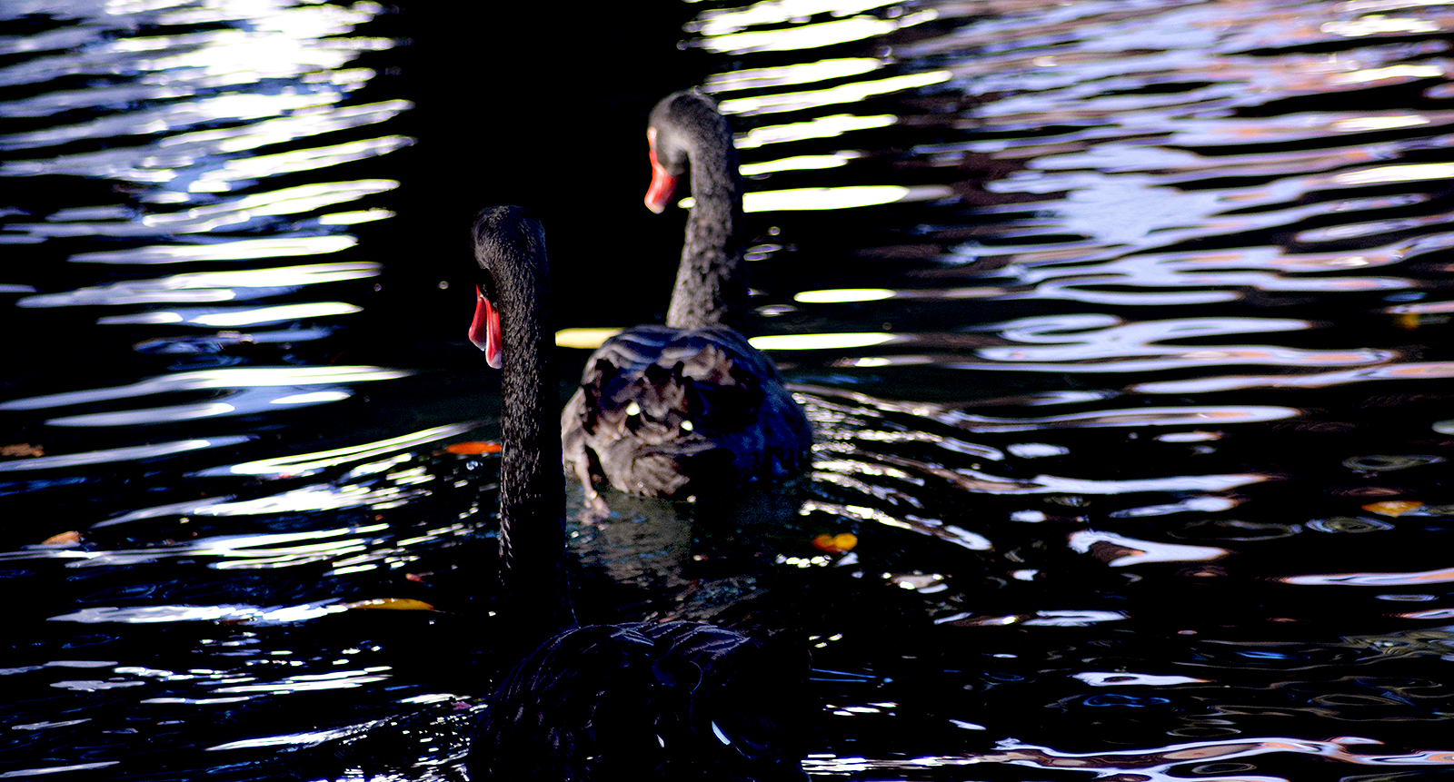 Swans 4 LR